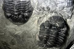 PALEO_Phacops_rana_Middle_Devonian-strona-IPal
